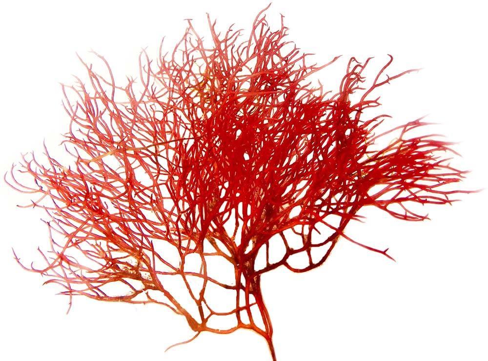 Red Ogo Live Macroalgae Gracilaria Parvispora 16 oz Algae Barn